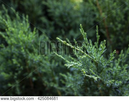 A Close Up Of Some Bushes.a Close Up Of A Plant