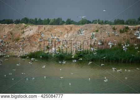 A Large Number Of Seagulls Fly Over The Lake. Overcast Sky. Summer.
