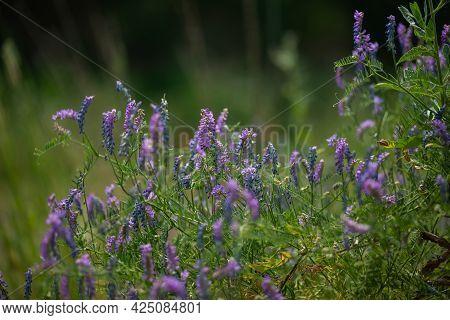 Field With Purple Lupins. Wildflowers. Summer Plants. Green Field.