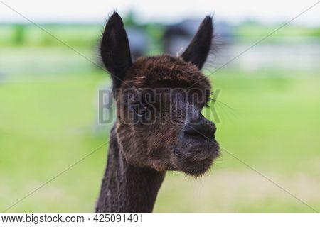 Nice Dark Brown Alpaca Face In Summer Day, Looking At Camera.attractive Dark Brown Llama Closeup.sel