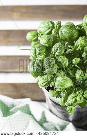 Organic Fresh Green Basil Is Grown In A Pot On The Windowsill, Home Gardening. Growing Healthy Vitam