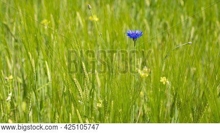 The Cornflower, Centaurea Cyanus Was Formerly Considered Field Weeds. The Cornflower Is A Medicinal