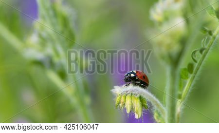 Coccinellidae Is A Widespread, Ladybird Beetle, Ladybugs. Red Beetle With Black Dots. Insects In The