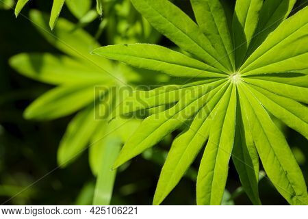 Green Leaves Of Lupinus Polyphyllus With Soft Sunlight In The Garden, Large-leaved Lupine, Vaste Lup