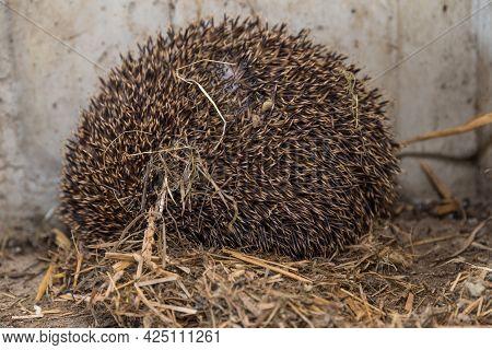 Hedgehog Lies In The Nest Made Of Straw - Prickly Hedgehog Ball, Close-up