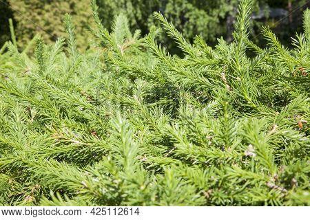Christmas Fir Tree Brunch Textured Background. Fluffy Pine Tree Brunch Close Up. Green Spruce Christ