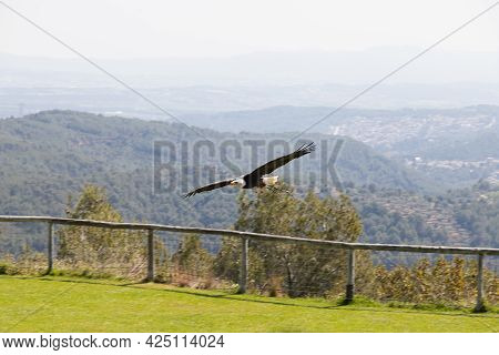 Bald Eagle Flying. Looking For Prey. Bird Of Prey That Lives In North America. Haliaeetus Leucocepha