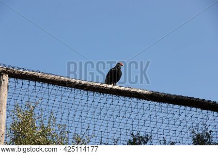 Cathartes Aura, Turkey Aura, Sitting On A Rope Fence, Wild Bird Of Prey, Eagle Resting After Lunch