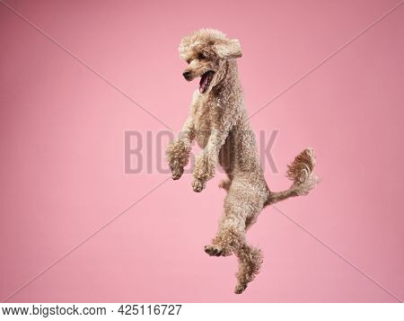 Flying Dog, Happy Small Poodle On Pink Background