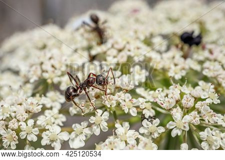 Ant On Flower. Black Garden Ants On White Flowers. Lasius Niger. Beauty In Nature.