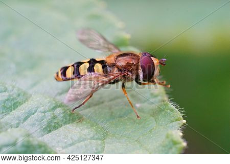 Closeup Of The Migrant Hoverfly , Eupeodes Corollae Sitting On A Green Leaf