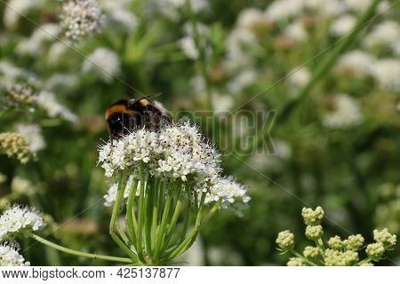 Bumble Bee Pollinating A Wild Flower In A Field