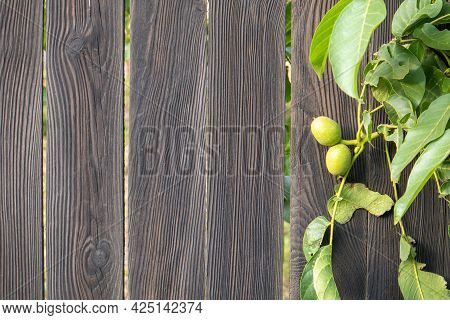 Green Young Walnuts On The Tree On A Black Wooden Background. A Walnut Tree Is Growing In Anticipati