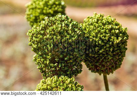 The Seed Head Is A Plant. Seeds On The Plant. Green Seeds.