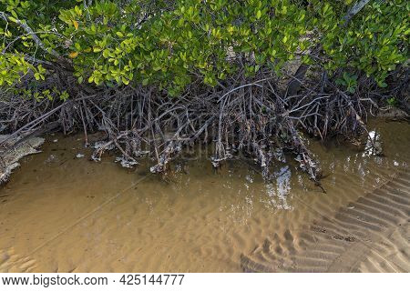 A Saltwater Mangrove Ecosystem At Low Tide Showing The Tree Roots