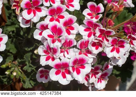 Beautiful White With Red Centers Of Pelargoniums With Leaves In A Pot