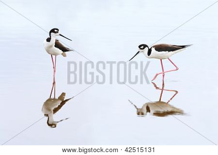 Pair Of Black-necked Stilts - Everglades National Park