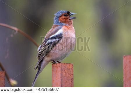 Common Chaffinch Sits On An Iron Fence In Spring On Green Background. Beautiful Songbird Common Chaf