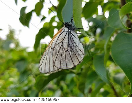 White Butterfly Close-up Sitting On A Green Leaf Of A Tree.