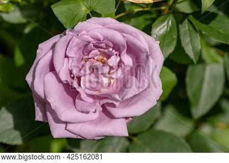 Macro Shot Of Pink Rose In A Garden, Copy Space