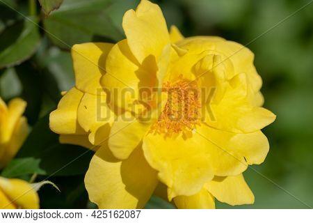 Macro Shot Of Yellow Rose In A Garden, Copy Space