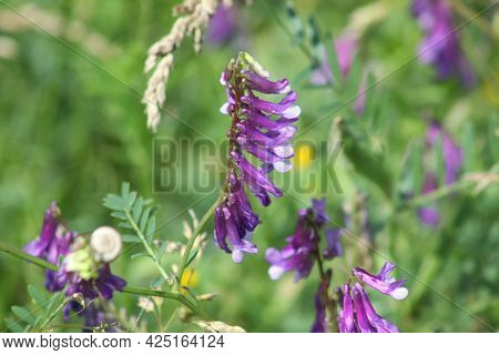 Hairy Vetch In Bloom Close-up View With Green In Background