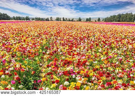Walk in the world of flowers. Lush yellow and red garden buttercups in a kibbutz field with a magnificent carpet. Israel. Windy cloudy day.