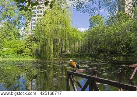 An Old Overgrown Pond In The City Park. A Ruddy Shelduck Sits On The Railing Of A Small Bridge.  Apt