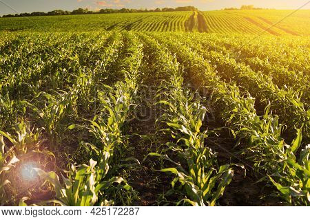 Rows Of Sprouting Corn In Fields Somewhere In Ukraine