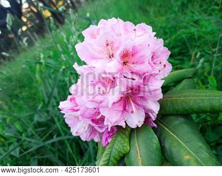 Azalea Blooms On A Green Background In The Park. Tropical Flower On Blurred Background