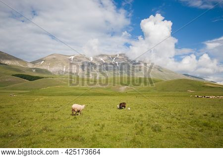 Panoramic View Of Vettore Mountain With Sheeps In The Pian Piccolo, Italy