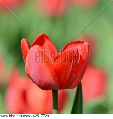 A Red Tulip On A Blurry Background. Spring Time. May. Gardening And Flower Breeding, Horticulture. C