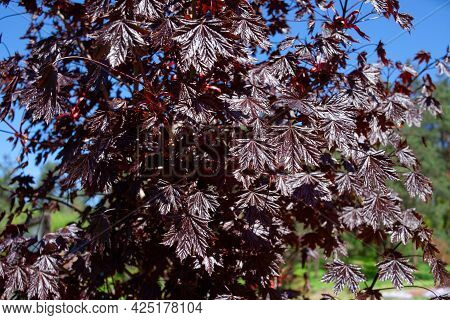 Close Up On A Leaves Of Emerald Queen Maple - Acer Platanoides Var Royal Red. Burgundy Foliage.