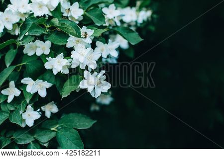 Beautiful Branch Of Blossoming Jasmine In A Spring Garden.  Selective Focus. Place For Text.
