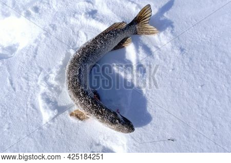 North Pike. During Cold Winter Time. Ice Fishing