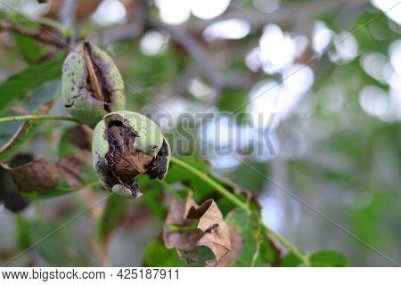 Ripe Walnut On The Tree. Ripe Walnut.