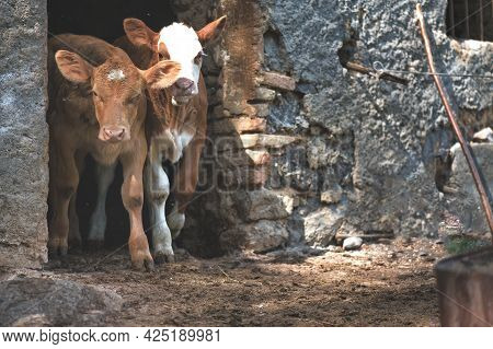 Two Calves On The Door Of A Stable