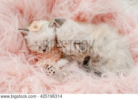 Two adorable little ragdoll kittens sweety sleeping together swaddled in pink peach fur and knitted blanket with flower on its head during newborn style photoshoot in studio. Cute kitty cats portrait