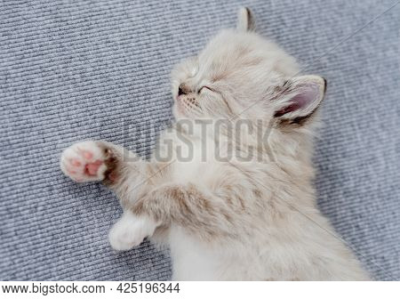 Sweet lovely little ragdoll kitten sleeping on light blue fabric during newborn style photoshoot in studio. Cute napping resting purebred kitty cat portrait