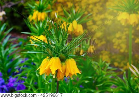 Yellow Flowering Imperial Hazel Grouse In The Park In Summer