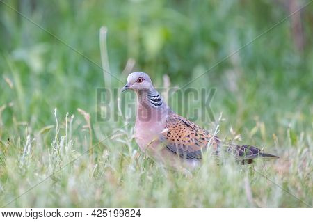 Collared Dove Streptopelia Turtur, Sits In The Grass In The Wild.