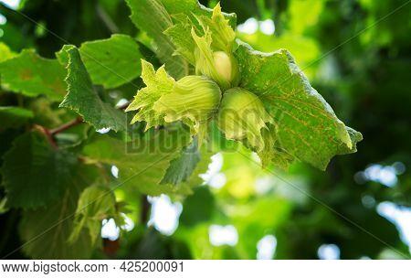 Young Green Hazel, Hazelnuts Growing On Tree Fruit Nut Harvest Spring Summer