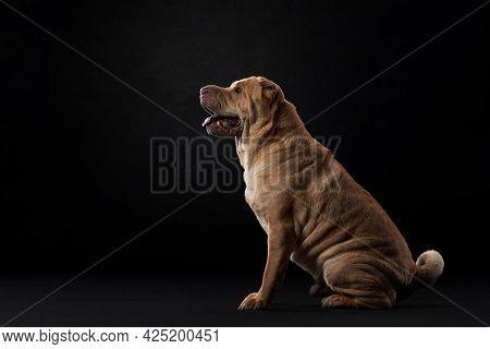 Shar Pei On Black Background. Plicate Dog