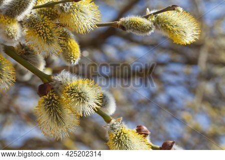 Willow Blooms In Early Spring. The First Flowers On The Bush. Hello, Spring.