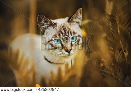 Portrait Of A Cute Striped Thai Kitten With Blue Eyes, Sitting Among The Tall Wild Grass And Field Y