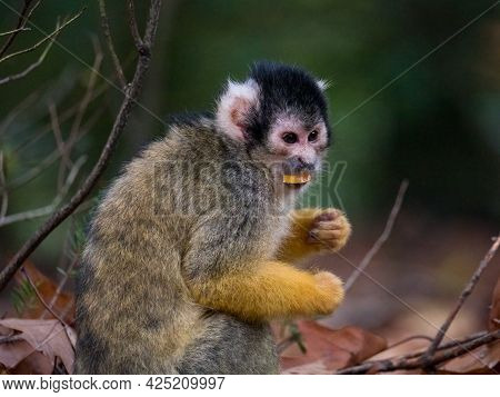 Black Capped Squirrel Monkey Eating A Snack
