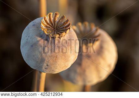 Dried Poppy Head Selective Focus. Opium Drugs Plant Head.
