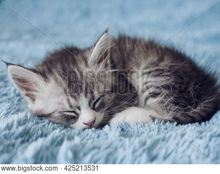 Cute Adorable Grey Fluffy Tabby Kitten Sleeping On Blue Soft Blanket. Cat Rest Napping Lying On Bed.