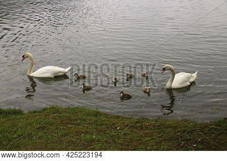 Swan Family On The Zeller See Near Zell Am See