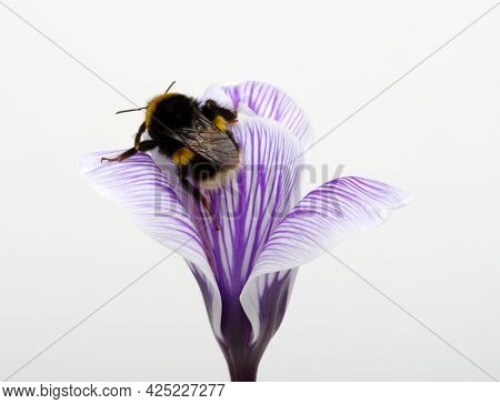 Bumblebee collects pollen from a blue flower isolated on white background